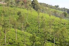Go Green (girish.vignesh) Tags: nature green tea estate tree landscape canon600d canon coonoor ooty plantation