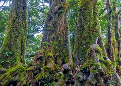 Link to Ancient Times (Eustaquio Santimano) Tags: world park trees heritage gold coast australia national area queensland beech antarctic springbrook rainforests nothofagus moorei godwana