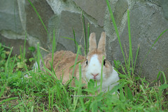 20160605-IMG_8351.jpg (ina070) Tags: animals canon6d grass pet rabbit
