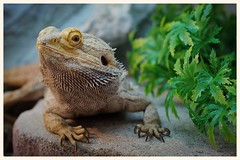 My little Dragon (daria_darek_photography) Tags: 2 color macro animal animals 50mm dragon sony 8 sigma 11 alpha bearded tier agama 2016 zwierzeta brodata