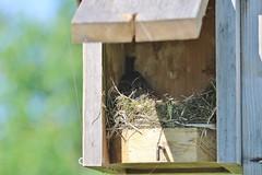 box 22 - tufted titmouse (gretchen dowling) Tags: tuftedtitmouse morrisarboretum box22 nestingbird