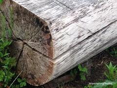 Cracks in a drying log - Stannington Northumberland England (WanderingPhotosPJB) Tags: england northumberland stannington log wood drying crack cracking img