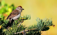 Chipping Sparrow (andrewj1882) Tags: sparrow chipping passerina spizella