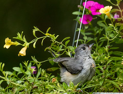 Hanging Basket Holiday   1Z9A2578 (DCLbyrdnyrd) Tags: juvenile tufted titmouse