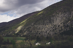 White horses (- m i l i e d e l -) Tags: 2016 april avril emiliedelmond france miliedel photographe photographer photography adventure explore nikon nikonfr photo printemps somewhere spring wander horses cheval wild wilderness nature nikonfrance
