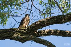 DSC_7652 (Keztik) Tags: canada tree cemetery reflex nikon quebec sherbrooke merlin falcon dslr arbre cimetiere elmwood falco faucon columbarius d3200 merillon