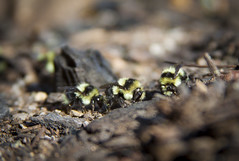 Three is a Magic Number: Sierra Bumble Bees (Life_After_Death - Shannon Day) Tags: california mountain 3 black mountains history nature yellow rock canon insect wonder landscape outdoors photography eos three nationalpark natural outdoor bees nevada sierra bee eat honey minerals granite dslr canondslr canoneos bombus lifeafterdeath 50d edwardsii shannonday canoneos50d melanopygus eosdslr canoneos50ddslr lifeafterdeathstudios lifeafterdeathphotography shannondayphotography shannondaylifeafterdeath lifeafterdeathstudiosartandphotography shannondayartandphotography