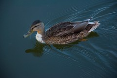 Aasee (Thilo Thomasson) Tags: lake duck animal water aasee mnster germany thinking depth outdoor ente