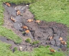 Wallowing in peaty mud (stuant63) Tags: wallow cervuselaphus reddeer peat mud