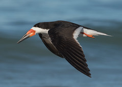 Aerodynamics (PeterBrannon) Tags: bird flight florida gulf nature rynchopsniger wildlife aerodynamics birdinflight blackskimmer inflight ocean