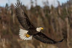 Bald Eagle In-flight (Andy Morffew) Tags: baldeagle inflight bif wings spread kachemakbay alaska andymorffew morffew