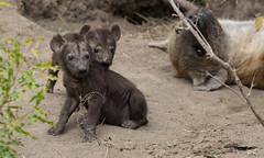 HyenaCub1-0539 (otterly1) Tags: dulini southafrica hyena safari