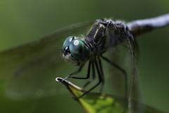 DragonFly_SAF9702 (sara97) Tags: copyright2016saraannefinke dragonfly flyinginsect insect missouri mosquitohawk nature odonata outdoors photobysaraannefinke predator saintlouis towergrovepark urbanpark