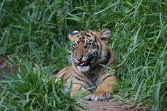 Cathy @ 6 months (ToddLahman) Tags: cathy joanne teddy sandiegozoosafaripark safaripark sumatrantiger babysumatrantiger canon7dmkii canon100400 canon tigers tiger tigertrail tigercub escondido