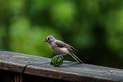 Tufted Titmouse (LastNitesFun) Tags: ivyvirginia july2016 summer birds tuftedtitmouse