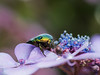 Flower chafer (MonteMare25) Tags: flower plant insect flowerchafer animal cetoniinae rosenkaefer