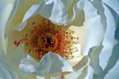 Photography helps people to see. / Fotografie hilft den Menschen zu sehen  Berenice Abbott (Knarfs1) Tags: blume blte flower fleur rose weiss white blossom marco makro garten garden