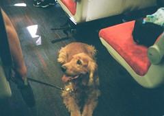 op - train dog (johnnytakespictures) Tags: olympus pen ee3 halfframe lomographycn400 lomo lomography analogue film train public transport dog animal loyal loyalty pet spaniel smile smiling grain lowlight