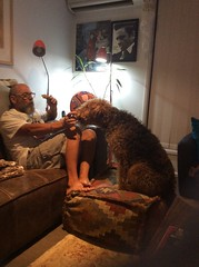 Foot or food stool... (alzphotoz2010) Tags: terrier pets chelsea mates pooch airedale dog
