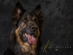 German Shepard (Karl Redshaw Photography) Tags: terrier agility animal companion dog domestic friend loyal mamal pet puppy tibetan