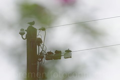 Amsel 2016.07.30 (bremen fotoconnection) Tags: wildvogel wildbird nikond3oo andreaswiethop amsel turdusmerula
