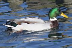 duck (Jeroen Stroes Photography) Tags: duck eend eenden