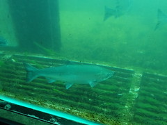 Salmon at Ballard Locks (corey.raimond) Tags: seattle salmon viewing glass ballard ballardlocks fish washington pugetsound westernwashington