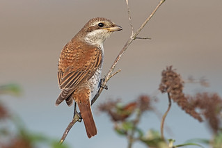 Red Backed Shrike M Juve