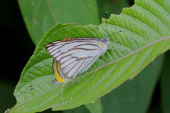 Striped Albatross (scubahenlik) Tags: butterfly thailand suratthani insect nature pieridae canon