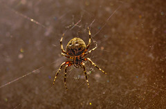 Spider (Emily Stoller) Tags: pentax pentaxk5 pentax100macrowr photographers photomatix midwest macro hdr highdynamicrange indiana indianapolis indianaphotographers indianapolisphotographers spiders