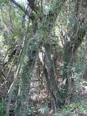 Pyrrosia rupestris 12 (barryaceae) Tags: bundjalung national park iluka new south wales australia australianrainforest plant rainforest fern ferns ilukabluff bluff australianferns ausrfps ausferns polypodiaceae