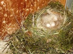 Little eggs (vegeta25) Tags: brown green bird fuji nest eggs fujifilm myfuji s3200