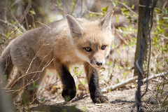 little explorer (greg obierek) Tags: nature canon wildlife fox marsh kit delaware redfox vulpesvulpes bbh specanimal bombayhooknwr usnwr usnationalwildliferefuges ef500mmf4isl eos7dmkii