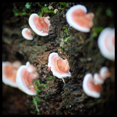 Fungi eight from #Ravensbourne National Park. Cute little poppits. From the #fungi series. @kimsankey