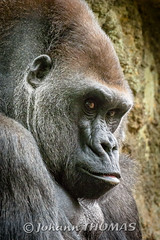 Gorilla (Johann - Photography Of Life) Tags: gorilla j3 nikon1 30110mm