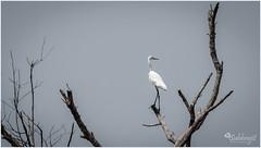 Lone Ranger (subhrajitnaha) Tags: birds mangrove