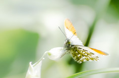 Orange Tip (Will Gell) Tags: orange butterfly river scotland nikon tyne east tip will 70300mm tamron lothian hailes gell anthocharis cardamines d7000