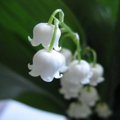 ђурђевак (3OPAHA) Tags: flowers white green canon tiny lilyofthevalley whiteflowers maiglöckchen mughetto djurdjevak