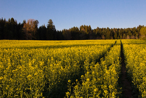 yellow rapeseed