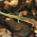 Many-ribbed Salamander, Larva