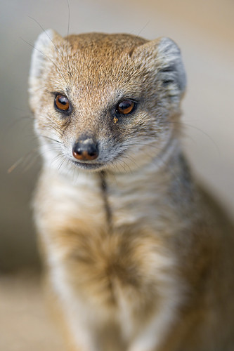 Last mongoose portrait