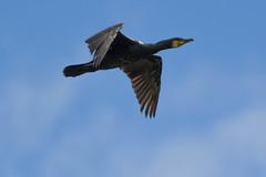 Cormorant (warren hanratty) Tags: bird gloucestershire cormorant seabird cotswoldwaterpark phalacrocoraxcarbo shorncotereedbeds warrenhanrattyphotography