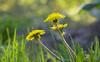 Be Your Own Kind of Beautiful (Lala Lands) Tags: dof bokeh storypeople taraxacum brianandreas yellowdandelion dandelionflowers whatisaweed nikond300s springafternoonlight nikkor28300mmf35