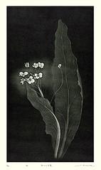Kale (Japanese Flower and Bird Art) Tags: flower art japan modern print japanese kale sachi brassica brassicaceae intaglio oleracea konta readercollection