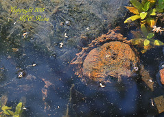 Snapping Turtle (3 of 3, Mothers Day) at Leonard J. Buck Garden of Far Hills New Jersey (takegoro) Tags: orange nature animal garden j pond snapping turtle reptile wildlife buck preserve sanctuary new jersey garden hills leonard far