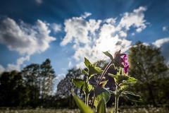 Wildwiese (bhansen.kiel) Tags: de lens deutschland natur wiese himmel lensflare blume sonne kiel schleswigholstein frhling weitwinkel