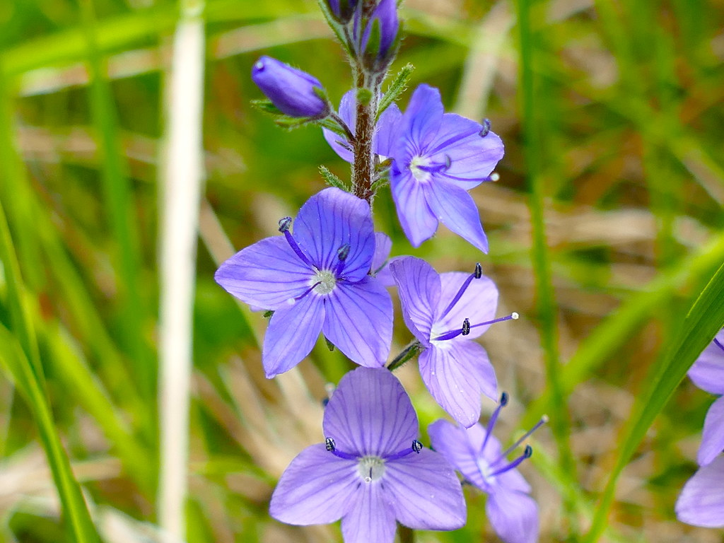 speedwell muslim Also, any muslim (military) training centers,  but like a fast-spreading slender speedwell weed it takes over and requires a great deal of work to get rid of it.