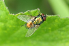 Greenbottle (Lucilia sericata) (chrisgeorg) Tags: macro nature closeup insect fly wildlife flies