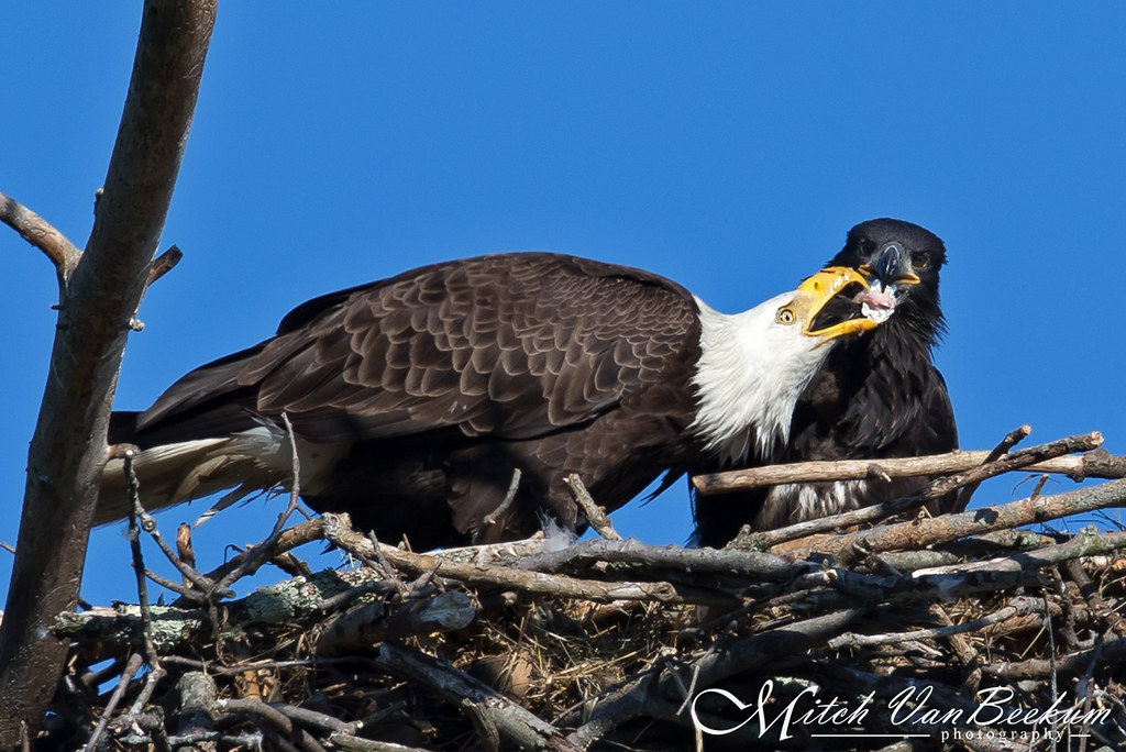 Feed The Hungry (Bald Eagle, Eaglet)