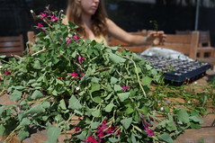 Nursery and Propagation Students (UC Davis Arboretum & Public Garden) Tags: students education nursery arboretum salvia teaching uc davis intern propagation propagate